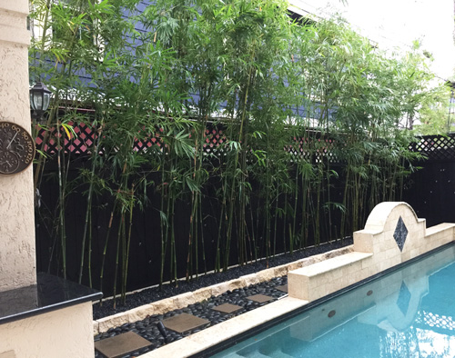 Houston Bamboo Plant For Privacy By Swimming Pool