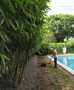 Houston Bamboo Pruning Service For Privacy Screen
